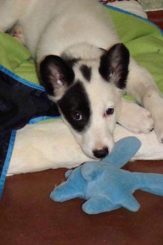 Пятнистая щенок-девочка ищет хозяев