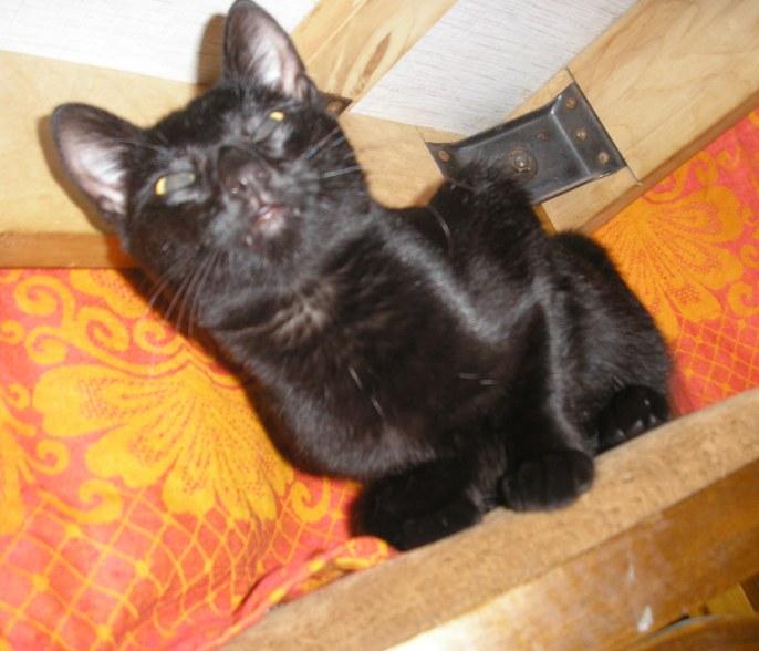 Котенок-чертенок ищет семью P9010012-1