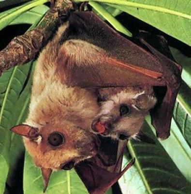 Летучая мышь - единственное млекопитающее, которое умеет летать.